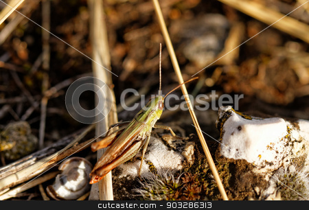 Grasshopper stock photo, Close up photo of a grasshopper in the rockery by Nneirda