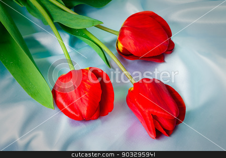 Three bright red tulips against blue silk stock photo, Three big beautiful tulips of bright red color with green leaves against blue silk by Georgina198