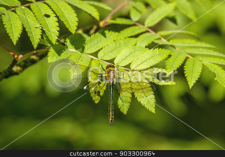 Yellow damselfly sitting on a green leaf stock photo, High resolution photo in best quality by Kasper Nymann