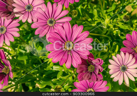 Violet Osteospermum in a green flowerbed stock photo, High resolution photo in best quality by Kasper Nymann
