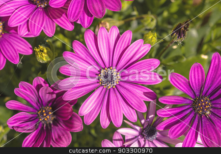 Pink Osteospermum in a garden stock photo, High resolution photo in best quality by Kasper Nymann