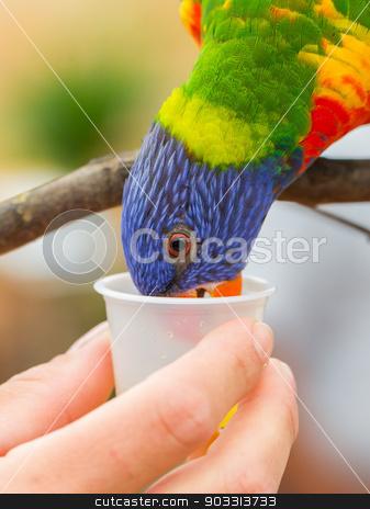 Australian Rainbow Lorikeet, Trichoglossus moluccanus stock photo, Australian Rainbow Lorikeet, Trichoglossus moluccanus, on a human hand by michaklootwijk
