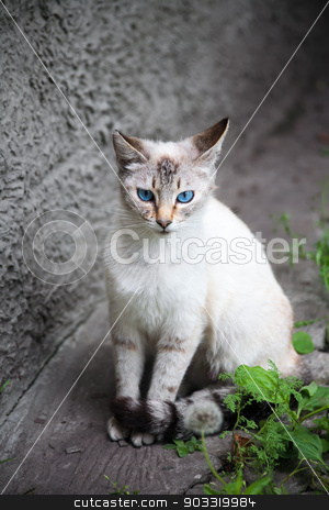 cat with blue eyes stock photo, cat with blue eyes by Sergiy Artsaba