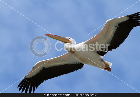 closeup of great pelican in flight stock photo, closeup of great pelican ( pelecanus onocrotalus ) in flight by coroiu octavian