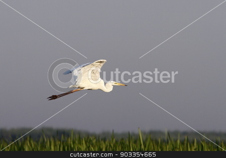 great egret flying over swamps stock photo, great egret ( ardea alba )  flying over swamps by coroiu octavian