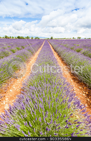 Lavander field stock photo, Provence Region, France. Lavander field at end of June by Paolo Gallo