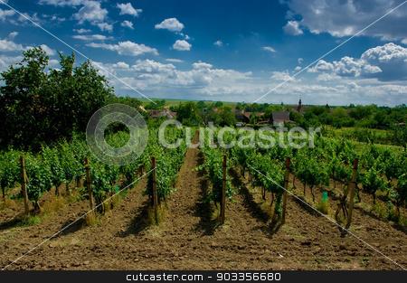 A vineyard. stock photo, A vineyard near the village Satov, South Moravia, Czech Republic. by zbynek