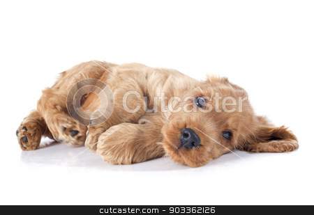 puppy english cocker stock photo, portrait of a  purebred puppy english cocker in a studio by Bonzami Emmanuelle