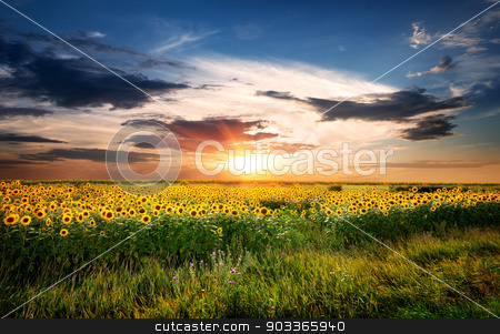 Field of sunflowers stock photo, Field of yellow blossoming sunflowers at sunrise by Givaga