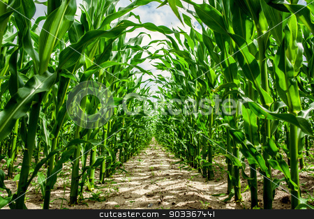High corn crops on a row stock photo, Top quality photo in high resolution by Kasper Nymann