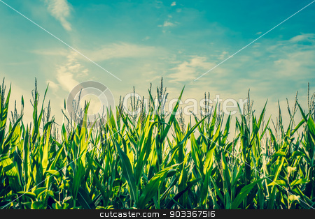 Tall green corn crops stock photo, Tall green corn crops with blue sky by Kasper Nymann