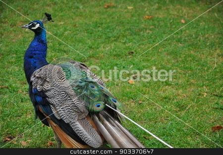 Peacock stock photo, Peacock Bird by Ritu Jethani