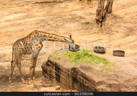 giraffe eating  stock photo, A large giraffe bull (Giraffa camelopardalis), eating by prajit48