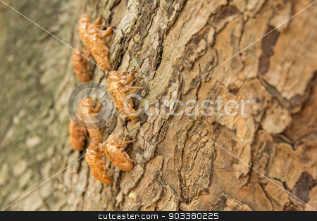 cicada molting on tree stock photo, cicada molting changing its skin in the rainforest by prajit48