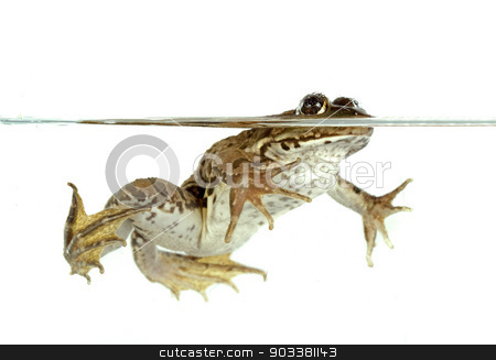 common frog stock photo, common frog in front of white background by Bonzami Emmanuelle