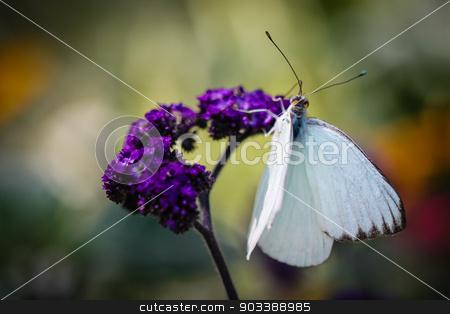 Great Southern White Ascia Monuste stock photo, A colorful Great Southern White Ascia Monuste butterfly. by Henrik Lehnerer