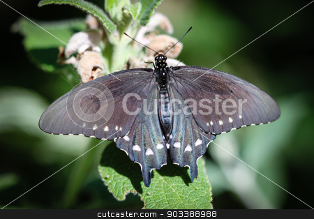 Spicebush Swallowtail Papilio Troilus stock photo, A colorful Spicebush Swallowtail Papilio Troilus butterfly. by Henrik Lehnerer