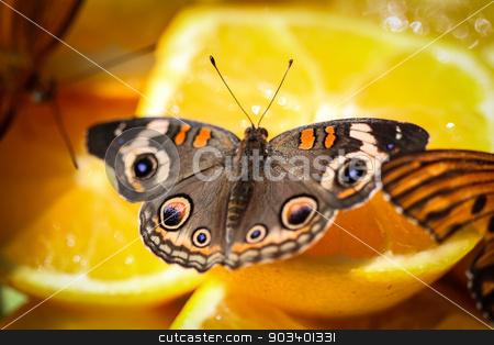 Common Buckeye Junonia Coenia stock photo, A colorful Common Buckeye Junonia Coenia butterfly sitting on orange slices. by Henrik Lehnerer