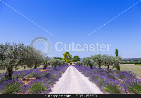 Lavander garden stock photo, Provence, France. Lavander field during summer season. by Paolo Gallo