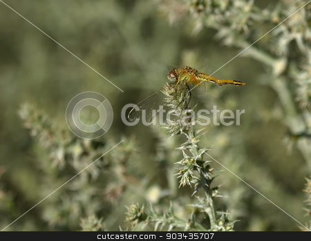 Immature ruddy darter, sympetrum sanguineum, in Camargue, France stock photo, Close up of immature ruddy darter, sympetrum sanguineum, in Camargue, France by Elenarts