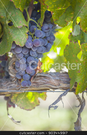 Lush, Ripe Wine Grapes on the Vine stock photo, Lush, Ripe Wine Grapes on the Vine Ready for Harvest. by Andy Dean