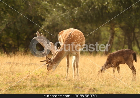 fallow deer stag  grazing  stock photo, fallow deer stag ( Dama )  grazing on a clearing by coroiu octavian