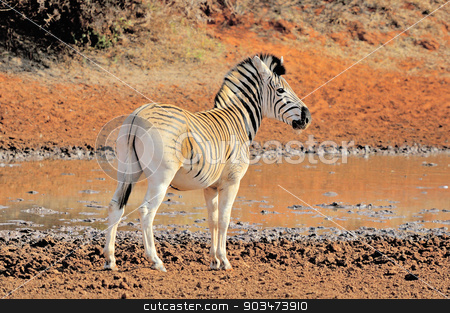 Zebra stock photo, Zebra at the Haak en Steek waterhole in the Mokala National Park of South Africa  by Grobler du Preez