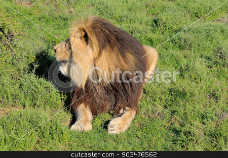 Kalahari lion showing mane stock photo, Kalahari lion showing mane in the Kuzuko contractual area of the Addo Elephant National Park in South Africa  by Grobler du Preez