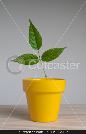 young plant in  clay pot. stock photo, Young plant  with three leaves in yellow clay pot  by Pablo Caridad
