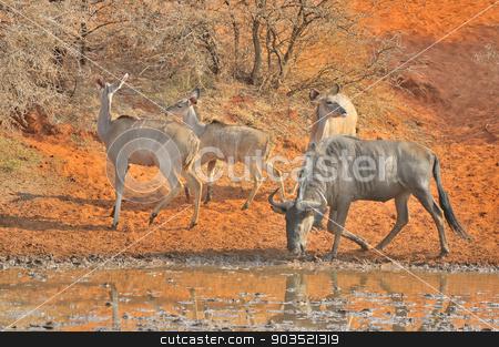 Blue Wildebeest and kudu stock photo, Blue Wildebeest and kudu at the Haak-en-Steek Waterhole, Mokala National Park, South Africa  by Grobler du Preez