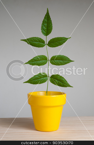 Plant in yellow pot  stock photo, Plant in yellow pot on wooden table. by Pablo Caridad