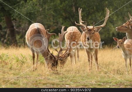 fallow deer herd in a clearing stock photo, males fallow deer herd ( Dama ) standing  in a clearing by coroiu octavian