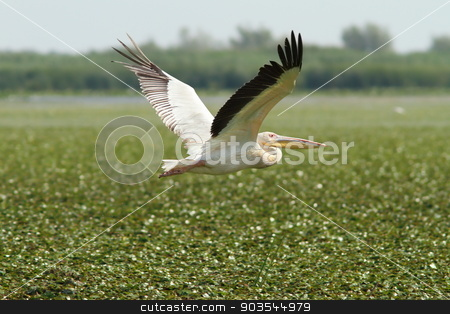great pelican flying over marsh stock photo, great pelican ( pelecanus onocrotalus ) flying over green marsh, Danube Delta, Romania by coroiu octavian