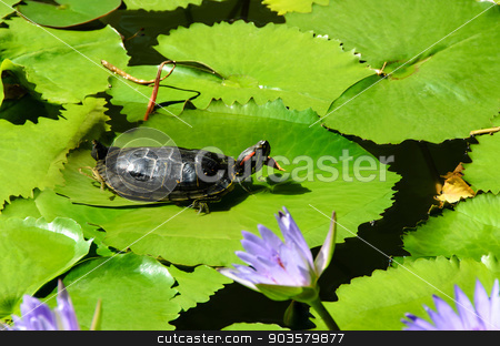 Turtle stock photo, Turtle Lake lies on the water lilies by aviemil