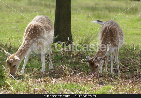 fallow deer under a tree stock photo, animal by Saphire Ovadia