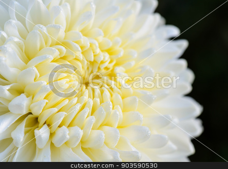 Close up white Chrysanthemum Morifolium flower stock photo, Close up middle of light yellow Chrysanthemum Morifolium flowers wet with morning dew by Yongkiet