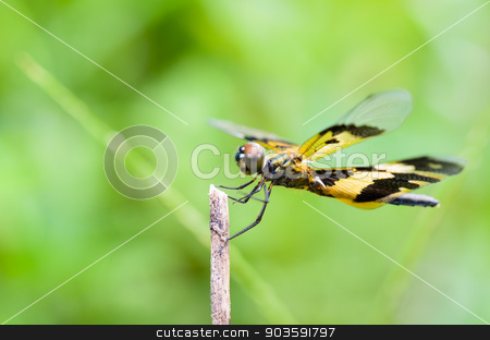 Black and yellow dragonfly stock photo, Rhyothemis Variegata, Common Picture Wing or Variegated Flutterer, is black and yellow female dragonfly on twig by Yongkiet