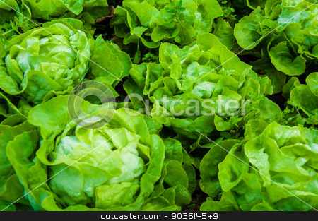 Closeup on fresh wet lettuce in the garden stock photo, Closeup on fresh wet lettuce in the garden by Constantin Stanciu