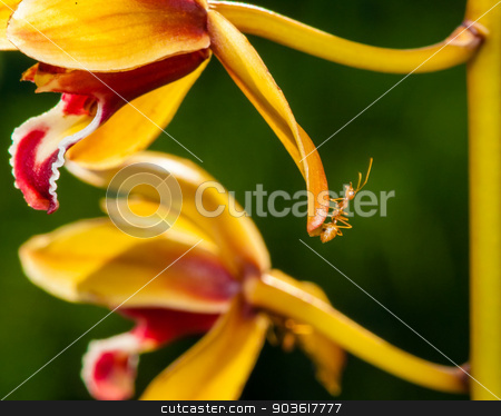 Macro shot of ant walking on a coloured orchid flower stock photo, Macro shot of ant walking on a coloured orchid flower by Constantin Stanciu