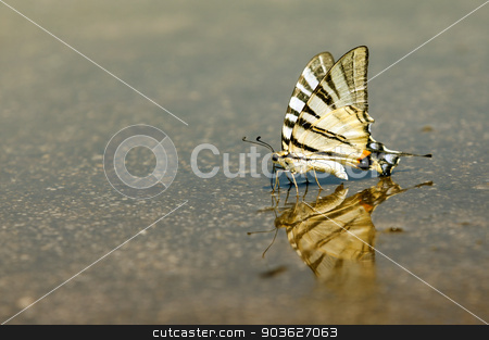 Exotic Swallowtail butterfly who drinks water stock photo, Butterflies often congregate on wet surface to partake in