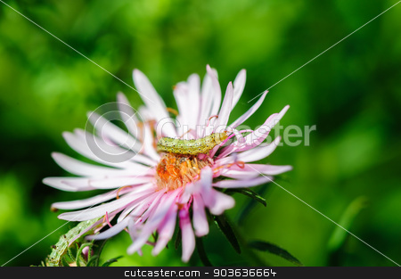 caterpillar on flower stock photo, pinkflower and small green ugly caterpillar, seelctive focus by Serghei Starus