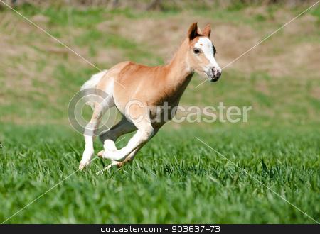 foal runs stock photo, foal runs by Maria Itina