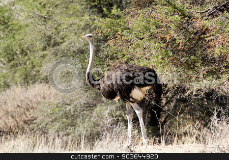 Ostrich Struthio camelus, in Namibia stock photo, Ostrich, Struthio camelus in Kalahari, South Africa, true wildlife photography by Artush