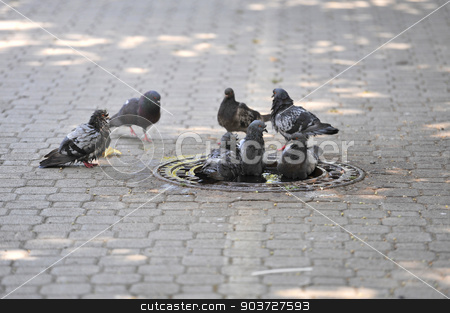Pigeons are cooled with water from the heat stock photo, Pigeons are cooled with water from the heat by Nebojsa Markovic