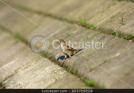 Sparrow House standing on a concrete floor and looking around stock photo, Sparrow House standing on a concrete floor and looking around by Nebojsa Markovic