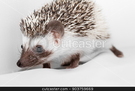 African white- bellied hedgehog stock photo, A cute little hedgehog - ( African white- bellied hedgehog ) by Nneirda
