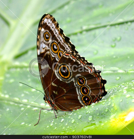 Butterfly living in a sanctuary  - 010 stock photo, Butterfly living in a butterfly sanctuary by Liane Harrold