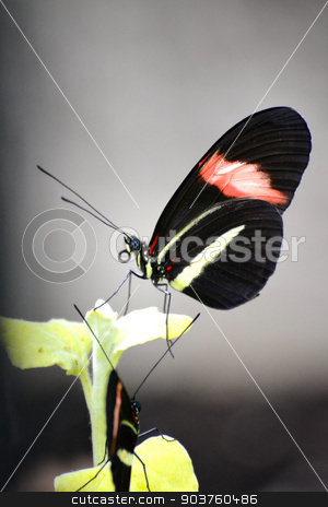 Butterfly living in a sanctuary  - 022 stock photo, Butterfly living in a butterfly sanctuary by Liane Harrold