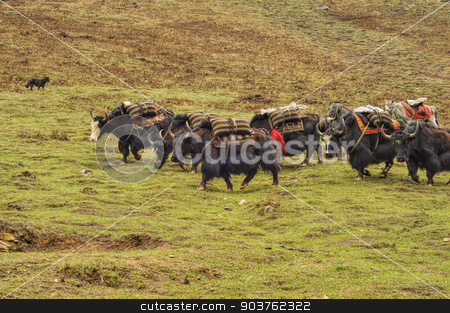 Yaks in Nepal stock photo, Yaks in carrying supplies in Himalayas mountains in Nepal by Michal Knitl