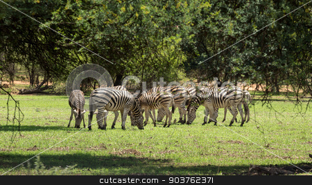 Zebras grazing stock photo, A group of Zebras grazing at the Gaborone Game Reserve in Gaborone, Botswana by derejeb